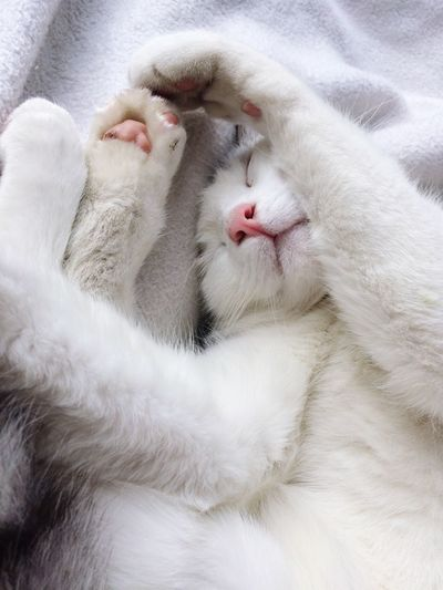 Animal Themes White Color Mammal Domestic Animals One Animal Pets Domestic Cat Close-up No People Indoors  Feline Day Sleeping Cat Closed Eyes Relaxation
