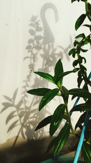Green Leaves 😍 Shadow And Light Plant Pattern Go Green Evening Sunshine Plant Love Plants 🌱 No People No Filter Tiltedangle Nature Indoors  Freshness Natural Pattern Single Moment 😍😌😊 Wow Shot
