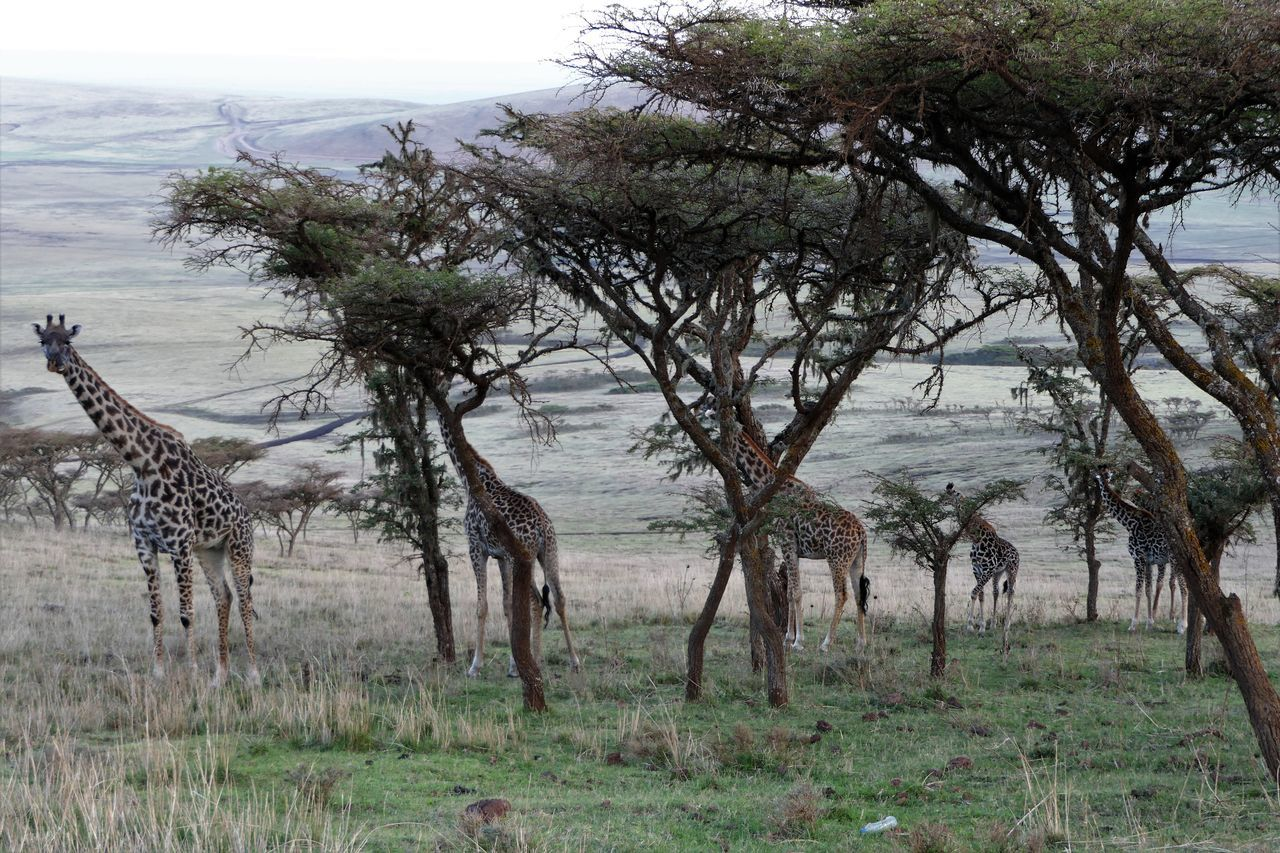 Serengeti Animal Themes Animal Wildlife Animals In The Wild Beauty In Nature Day Giraffe Grass Landscape Mammal Massai Giraffe Nature Nature Reserve No People Outdoors Serengeti National Park Tree