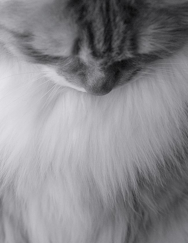 Cat Blackandwhite Blackandwhite Photography Black And White Pets Buster