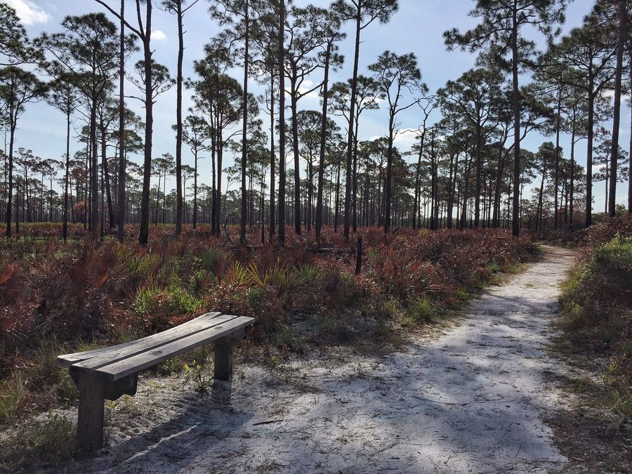 Bench on the path Jonathan Dickinson State Park Florida Park Pinetrees Pine Trees Palmetto Controlled Burn Bench Benchinthepark Nature's Diversities