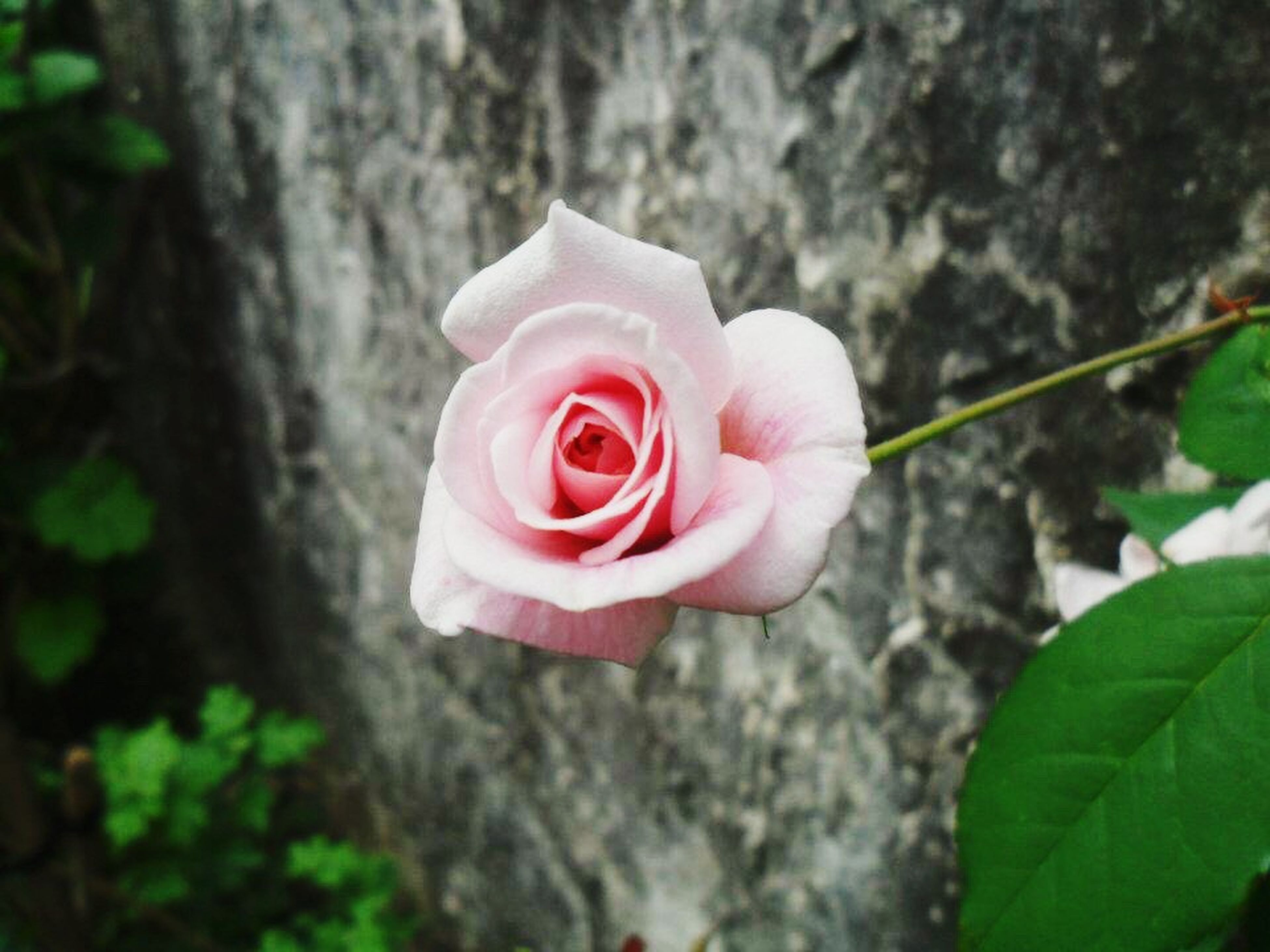 Small Rose Smallrose Small Beautiful Beauty In Nature Nature Plants Roses Nature Photography Roselife Rose - Flower Rose🌹