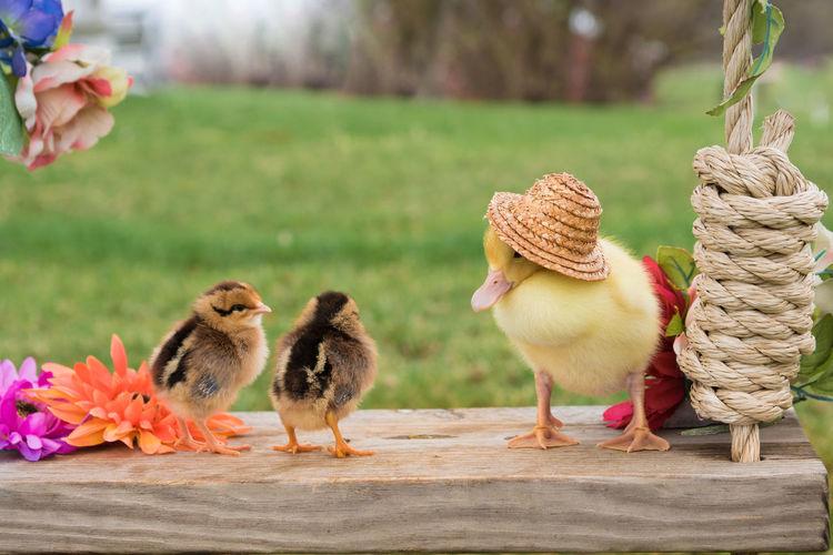 Animal Themes Baby Duck Baby Farm Animals Bird Chicken - Bird Duck Focus On Foreground Livestock Outdoors Young Animal Young Bird