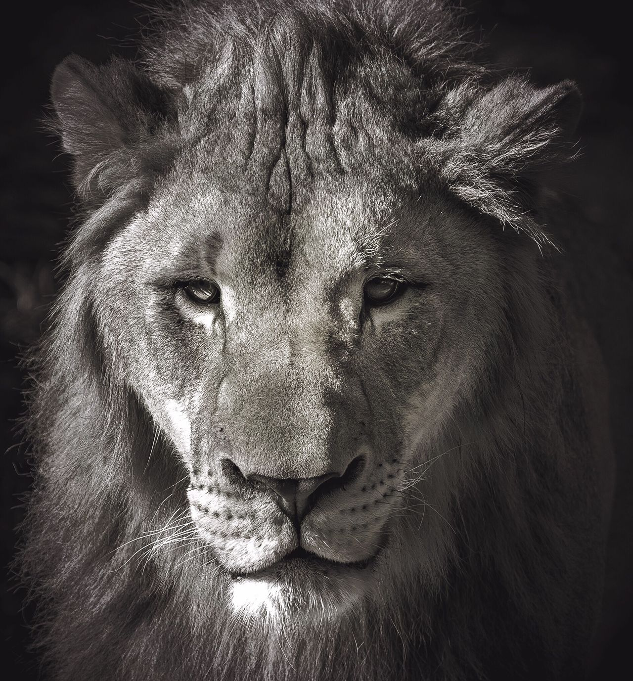 The King Animal Themes Animals In The Wild One Animal Lion - Feline Close-up Animal Head  No People Mammal Outdoors Portrait Day Blackandwhite Black And White Black & White Blackandwhite Photography Black And White Photography Black&white Portraits Portrait Photography Africa Safari