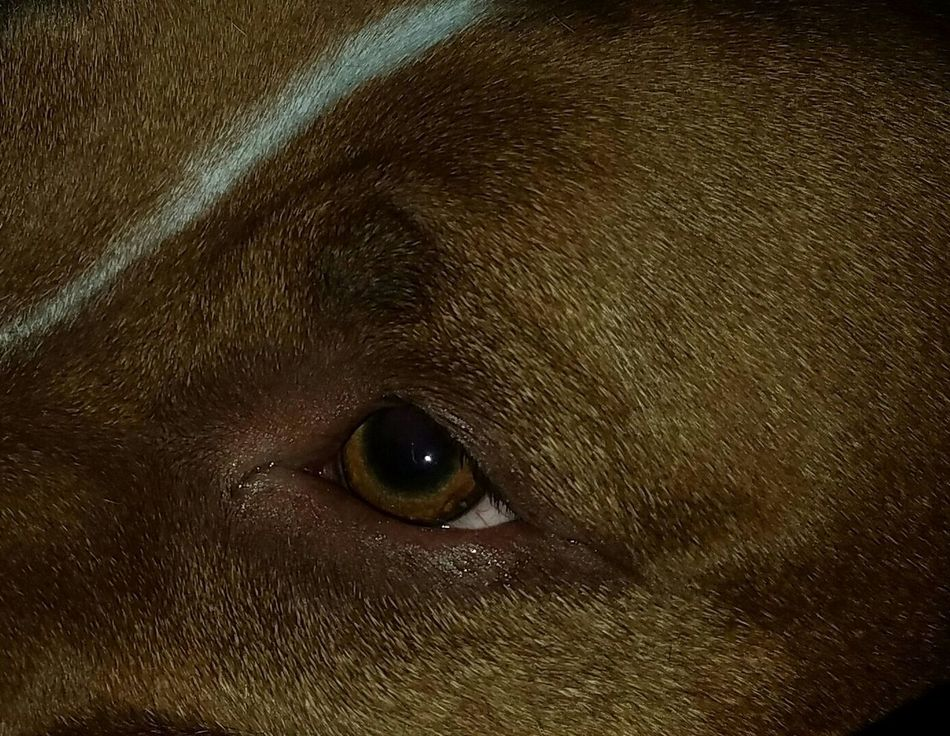 The eyes of my pitbull love him so much Animal Body Part One Animal Animal Themes Backgrounds Full Frame No People Animal Textured  Close-up Animal Eye Animals In The Wild Nature Mammal Fragility Day pitbull rednose