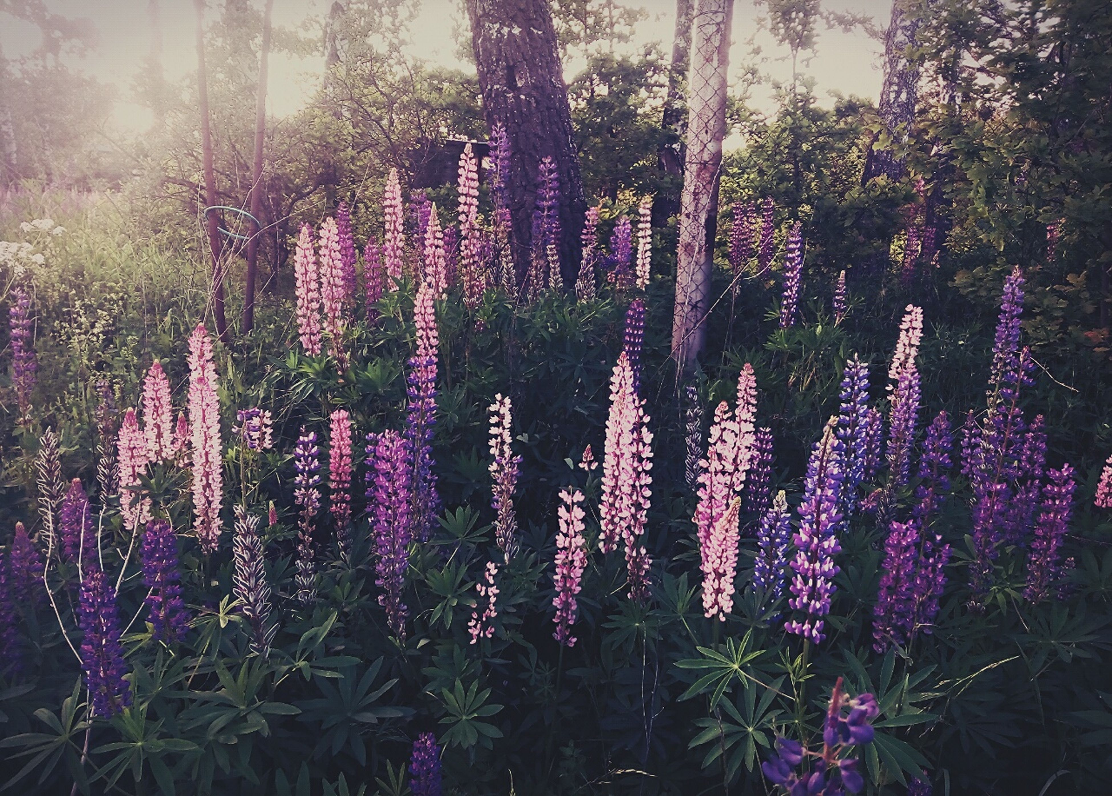 flower, purple, growth, beauty in nature, freshness, plant, nature, tree, fragility, tranquility, blooming, in bloom, tranquil scene, field, outdoors, park - man made space, no people, day, pink color, growing
