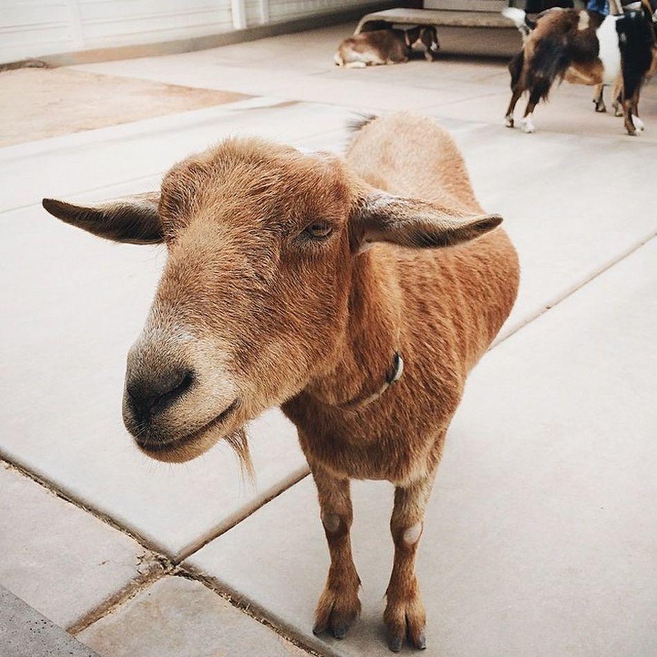 Nature Beautiful VSCO Vscocam vscoexpo vscounited instagramaz arizona igersphx instagood vscophile igersusa phxzoo zoo goat animal farm phoenix