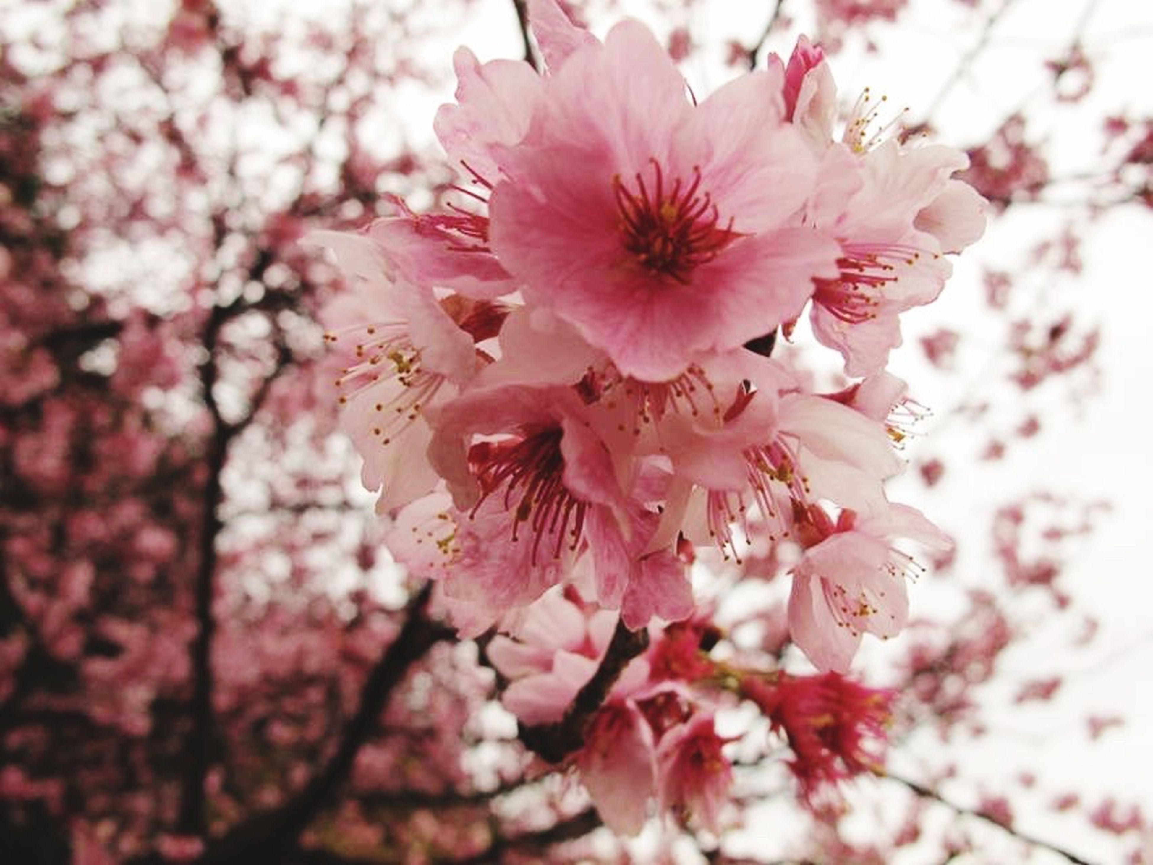 flower, blossom, fragility, springtime, beauty in nature, cherry blossom, pink color, petal, freshness, flower head, nature, cherry tree, growth, tree, botany, apple blossom, branch, no people, stamen, selective focus, day, pollen, close-up, blooming, outdoors, plum blossom