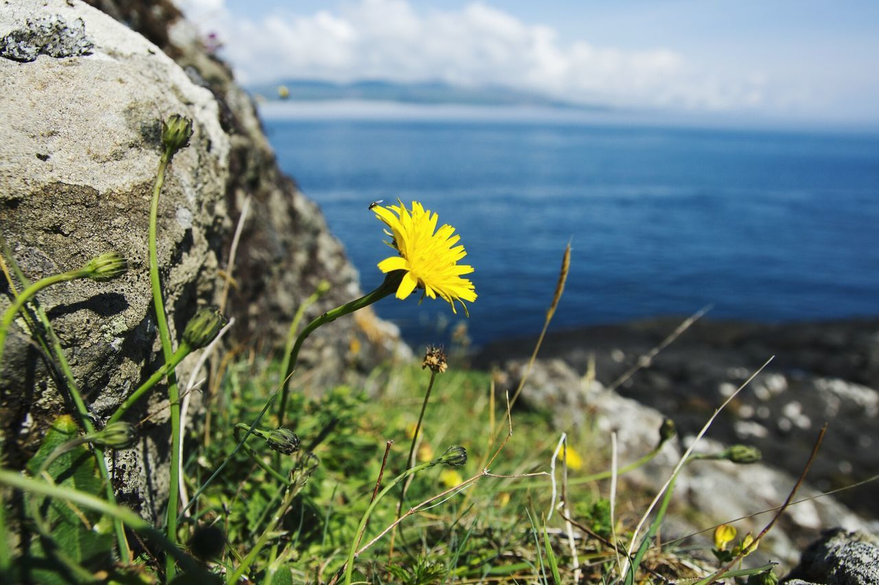 Flower, beauty, nature, life. Wildflower Flower Green Enjoying The Moment EyeEm Nature Lover Dandelion Dandelion Collection Rugged Landscape Picteresque Rocks Floralperfection Floralphotography Eyem Nature Lover Eyeemtravel  Yellow Outdoors Flower Head EyeEmFlower Common Hiking
