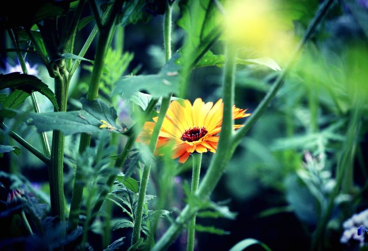 Dreamy Marigold Flower Growth Nature Petal Plant Freshness EyeEmNewHere Fragility Beauty In Nature Flower Head Animal Themes Blooming Outdoors No People Insect Animals In The Wild Yellow Close-up Day Green Color One Animal EyeEmNewHere EyeEmNewHere