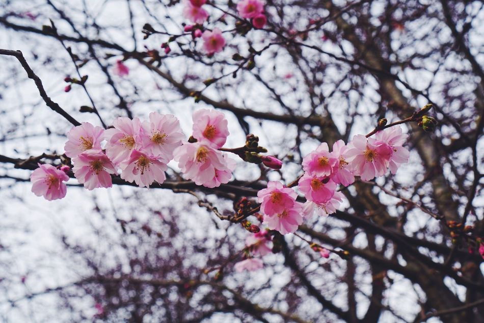 Flower Pink Color Nature Growth Fragility Beauty In Nature Freshness Tree Petal Springtime Branch Blossom In Bloom Cherry Blossom Twig Cherry Tree Blooming No People Close-up Outdoors Real Photography Nature Photography Good Morning Bokeh Spring