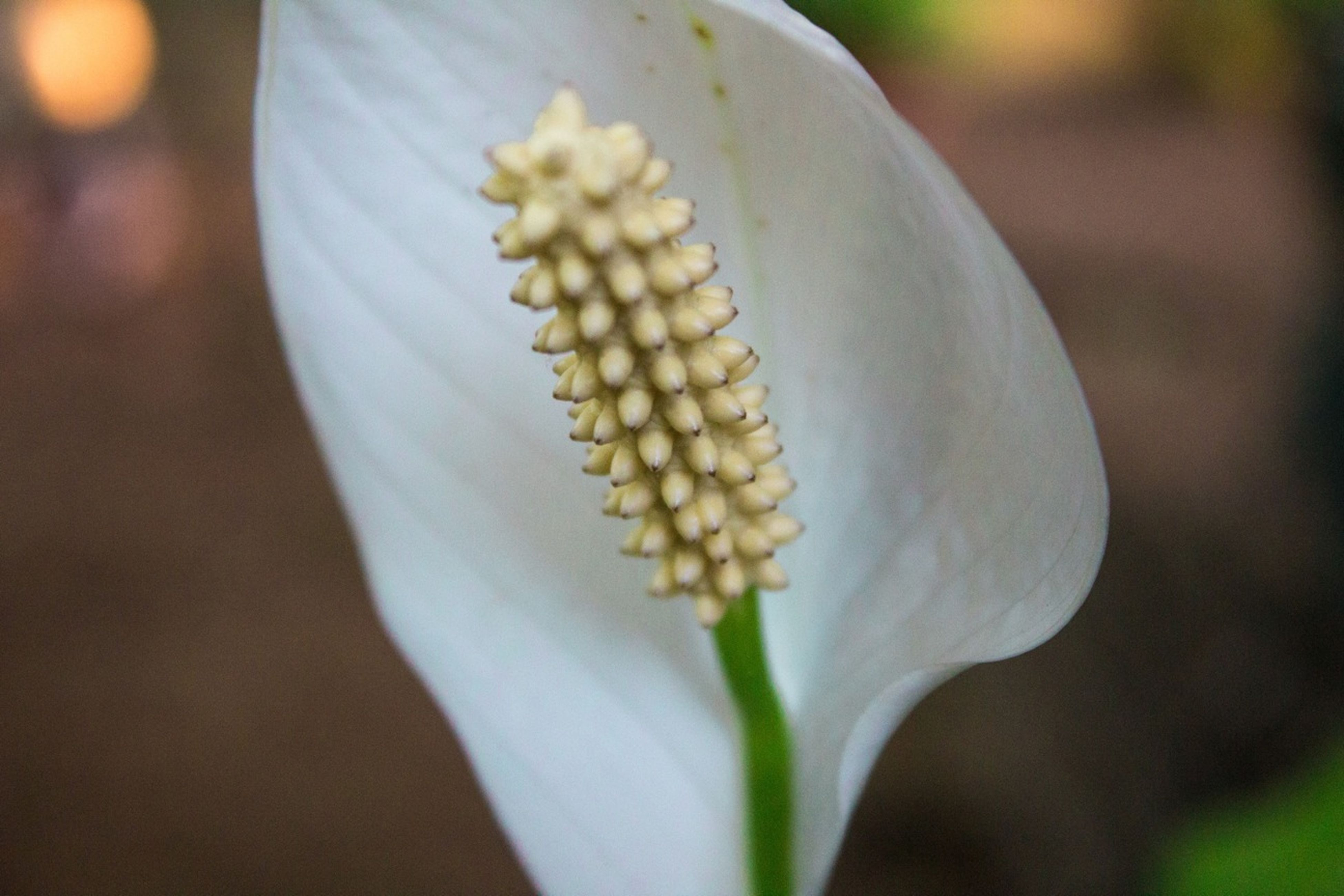 growth, freshness, close-up, flower, fragility, focus on foreground, beauty in nature, nature, white color, petal, plant, selective focus, flower head, bud, outdoors, day, no people, botany, blooming, stem