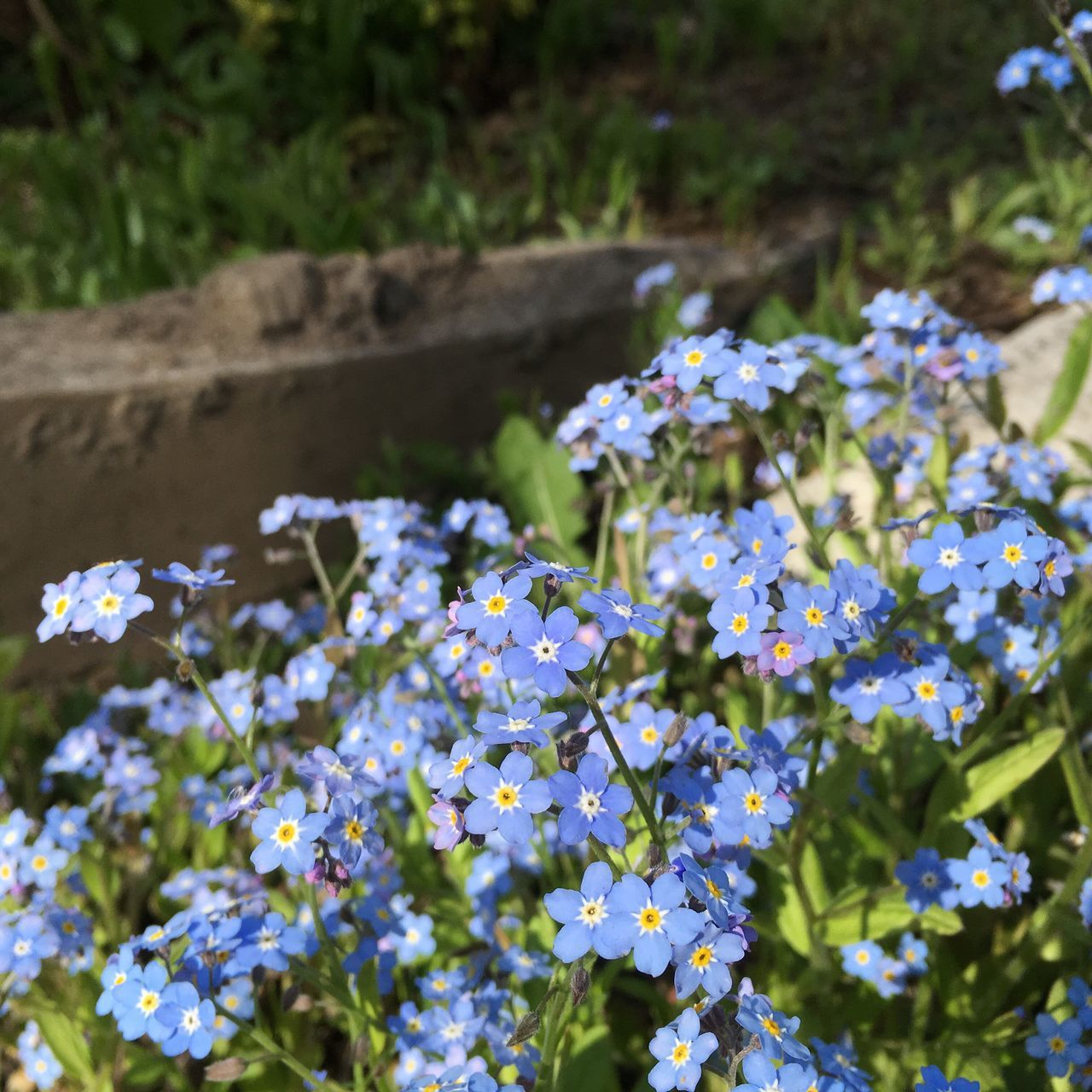 Flower Fragility Growth Nature Beauty In Nature Freshness Plant Day Outdoors Abundance Petal Blooming Field No People Green Color Springtime Flower Head Close-up Forget Me Not