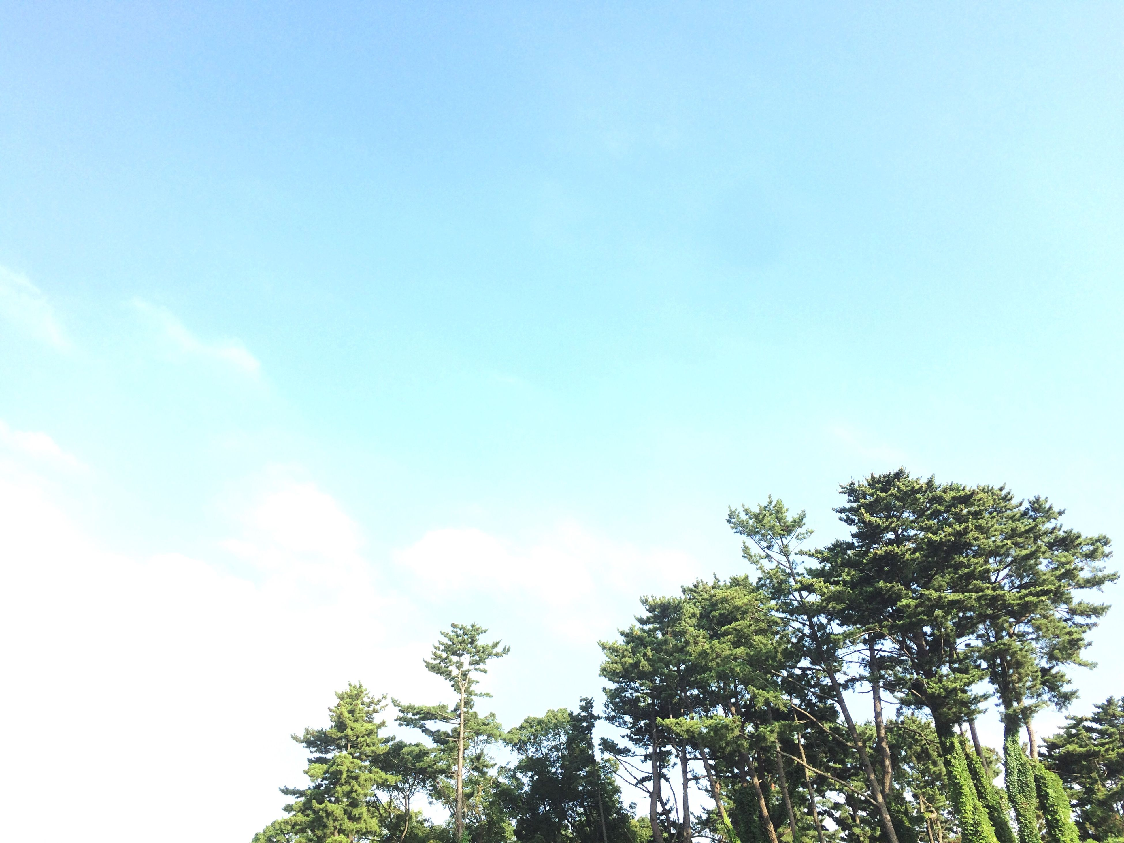 low angle view, tree, growth, sky, blue, copy space, clear sky, beauty in nature, nature, tranquility, high section, treetop, scenics, tranquil scene, green color, day, outdoors, no people, branch, idyllic