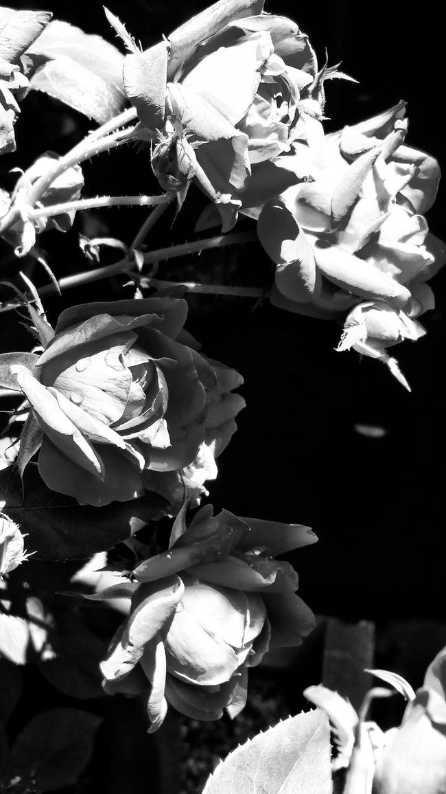 Black And White Photography Smelling The Roses Fresh On Eyeem  Pay Attention To The Little Things In My Mind's Eye
