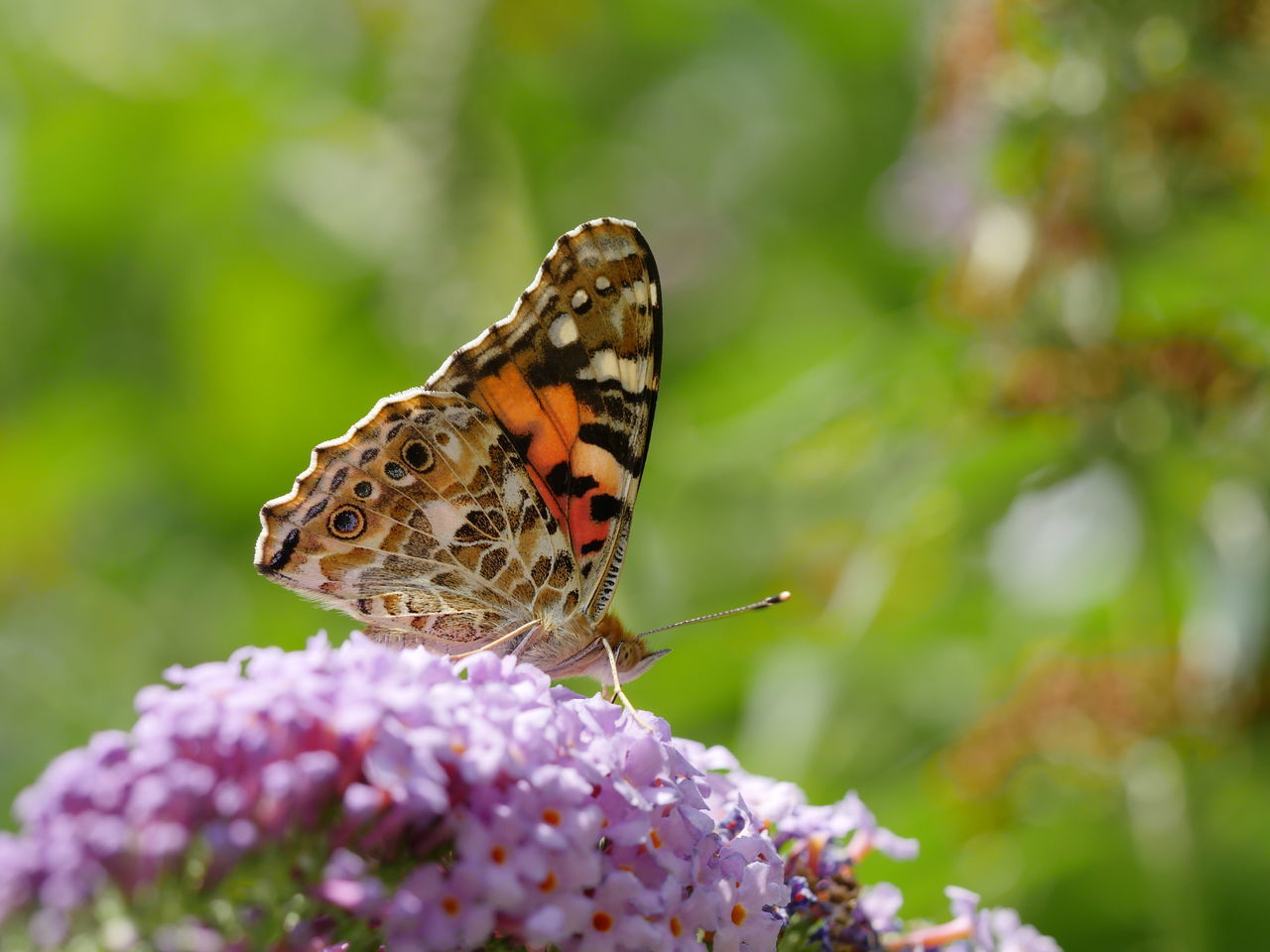 Distelfalter Painted Lady Butterfly Outdoors Insect Macro Nature No People Wildlife Perspective Close Up Closeup Fragility Detail Animals Animal Themes Multi Colored Animal Antenna Beautiful Nature From My Point Of View Taking Photos Focus On Foreground