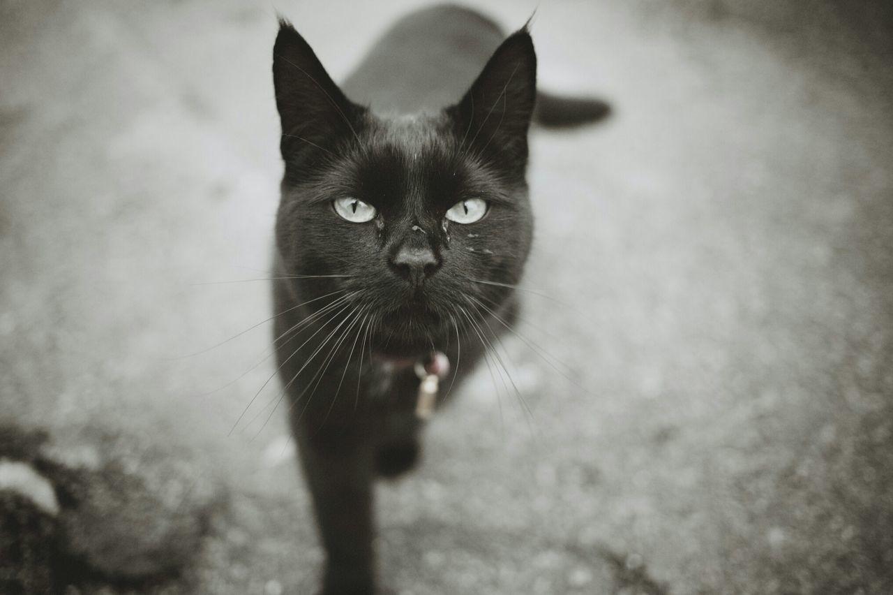 Cat Black Canon Eos 1Ds Curious