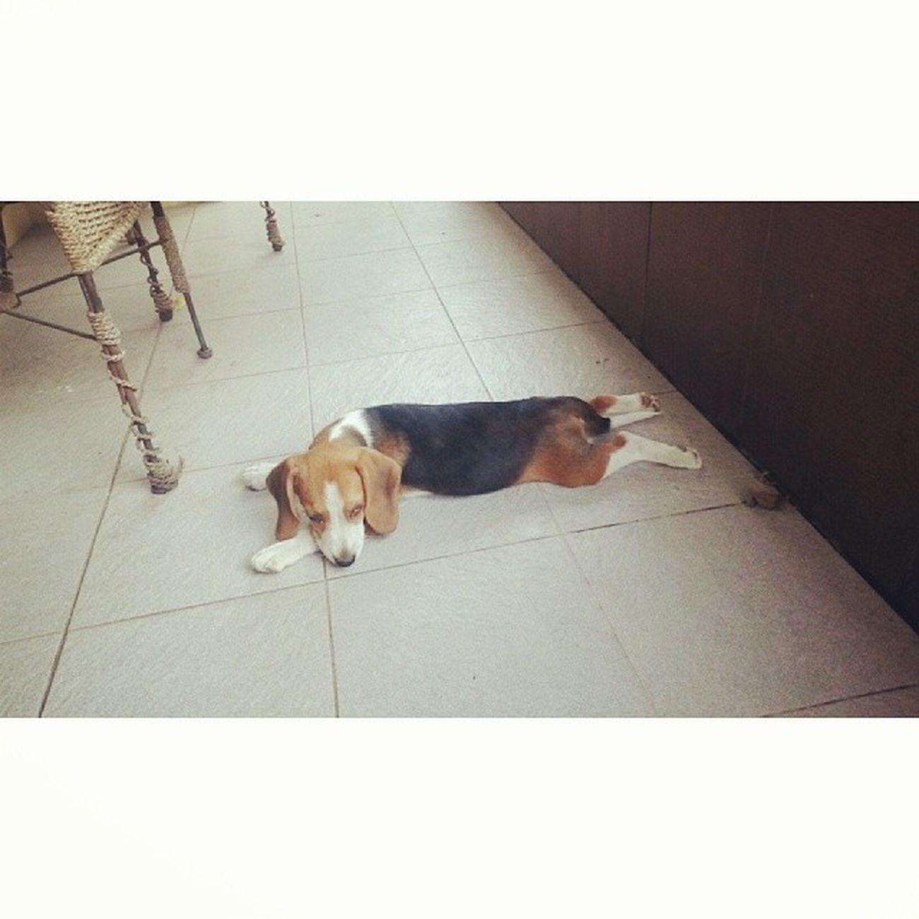 Bingo! AnjingTetangga Beagle Latepost