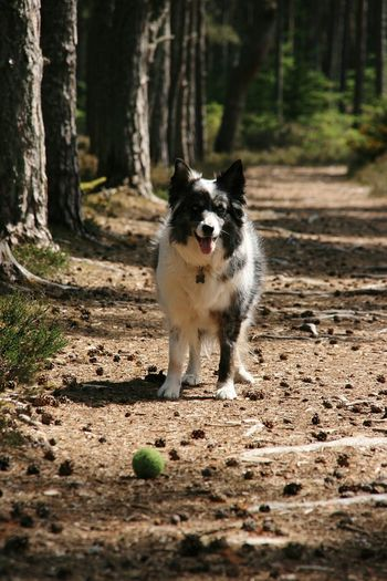 Play with me Dog Walking Lossiemouth Scotland Animal Blue Merle Blue Merle Dogs Collie Collie Dog Cassie  Ball Playtime Cute Pet Photography  Canine Companion Summer Walks Woodlandwalks In The Woods Woodlands Trail