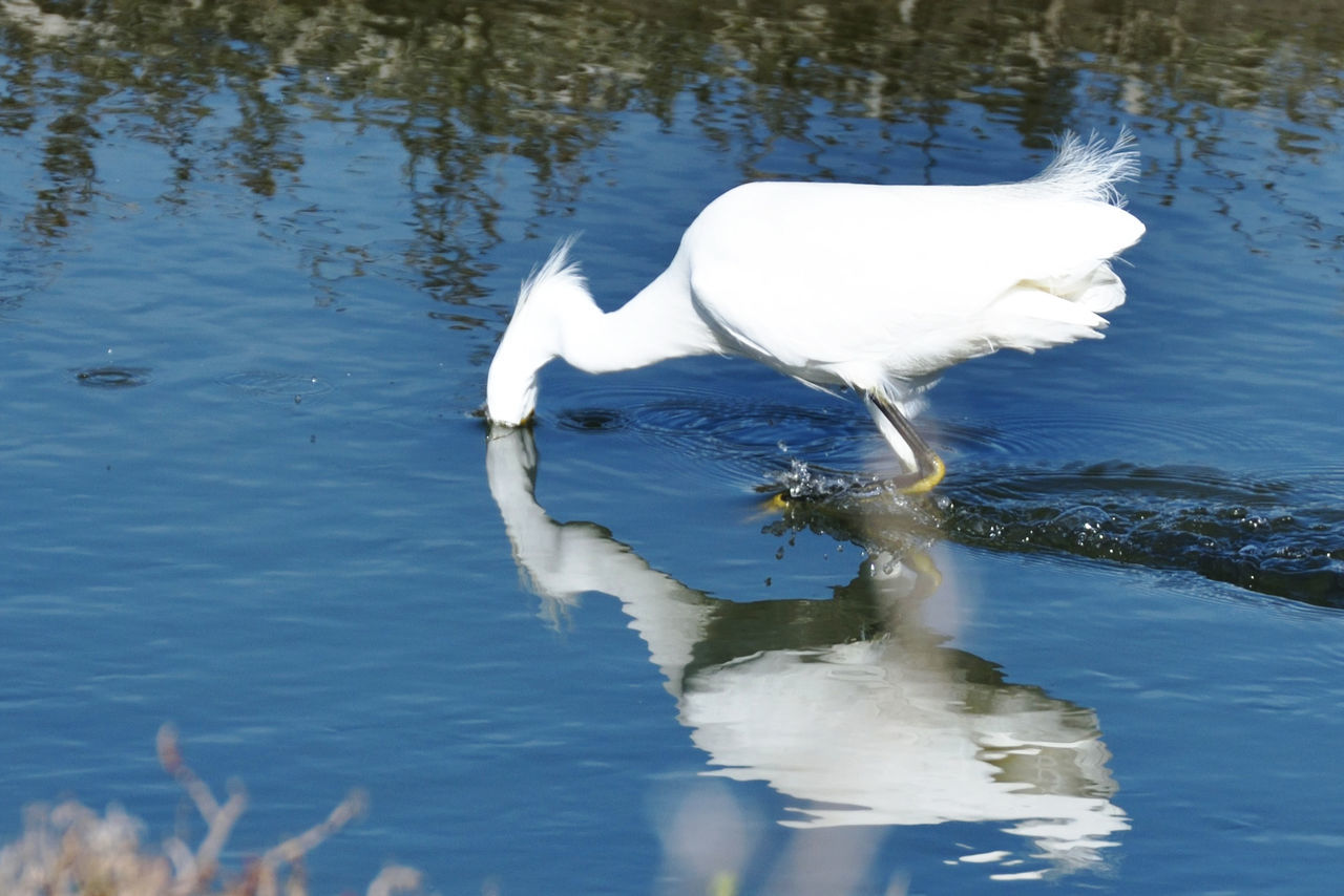 Close-Up Of Heron Searching Food In Pond