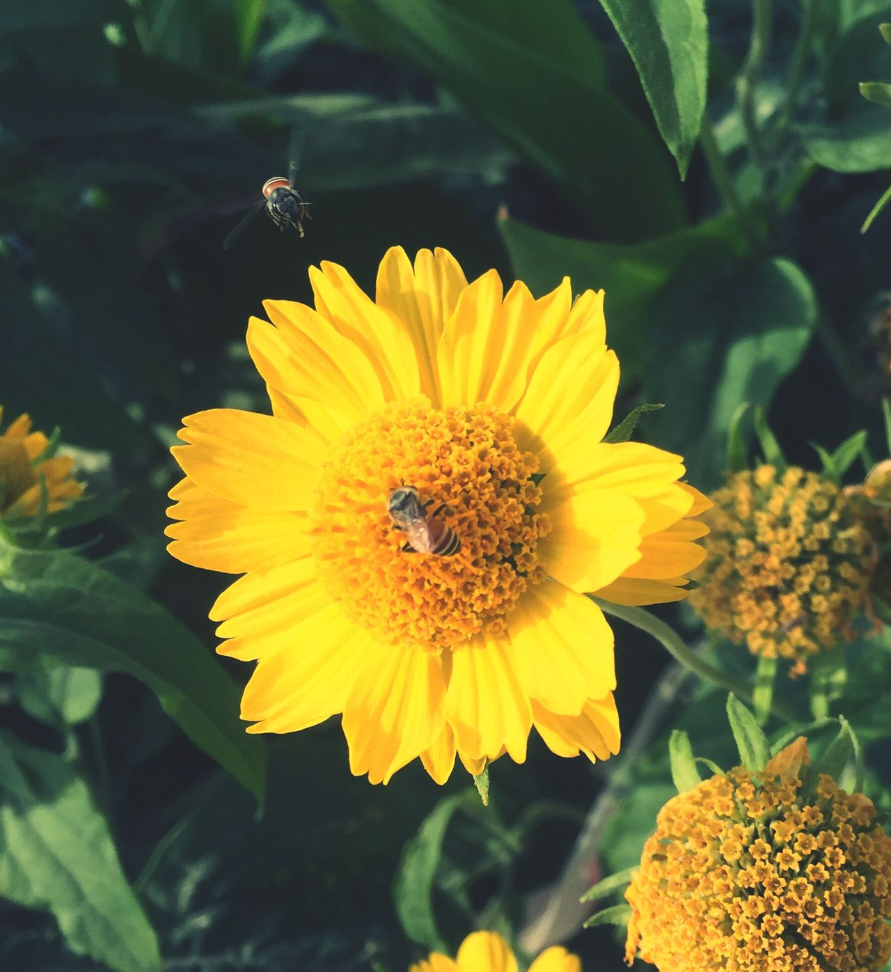 Flower Insect Beauty In Nature Yellow Nature Petal Fragility Flower Head Plant Bee Freshness Pollination Blooming Animal Themes Animals In The Wild One Animal Growth Outdoors No People