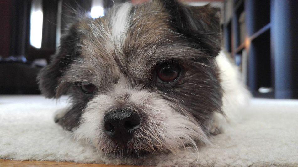 Closeup Closeup Dog Small Breed Floor Bright