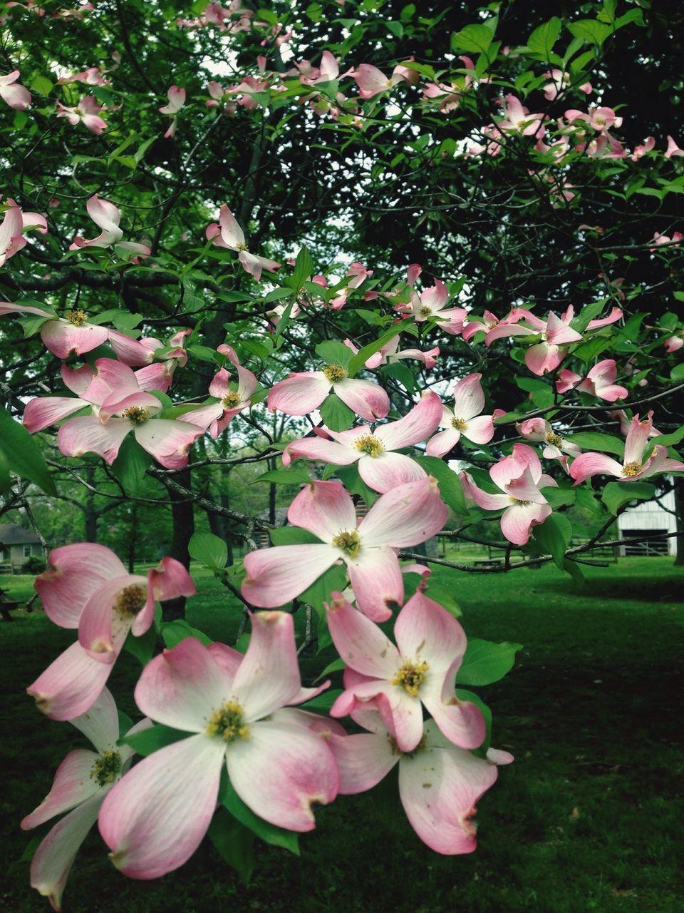 Apple Tree Blossoms In Garden