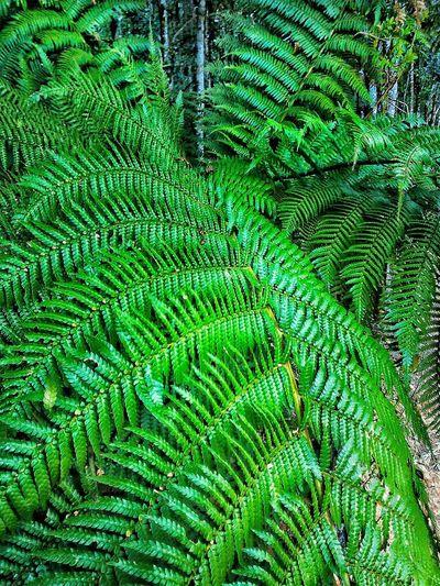 Taking Photos Green Green Green!  Nature Photography Nature Leaf Samambaialeaf Green Leaf