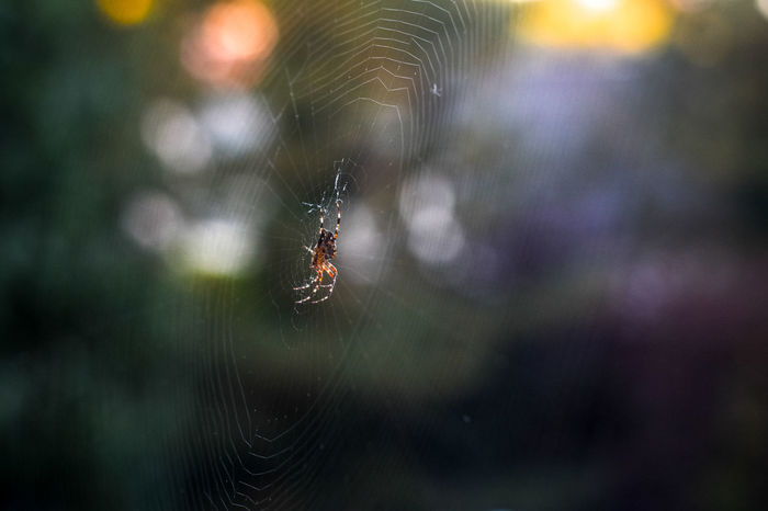 Spider In Web Animal Themes Animal Wildlife Animals In The Wild Blury Background Bokeh Close-up Day Focus On Foreground Insect Nature No People One Animal Outdoors Spider Spider Net Spider Web Spider Web In The Air Spider Webs Survival Web