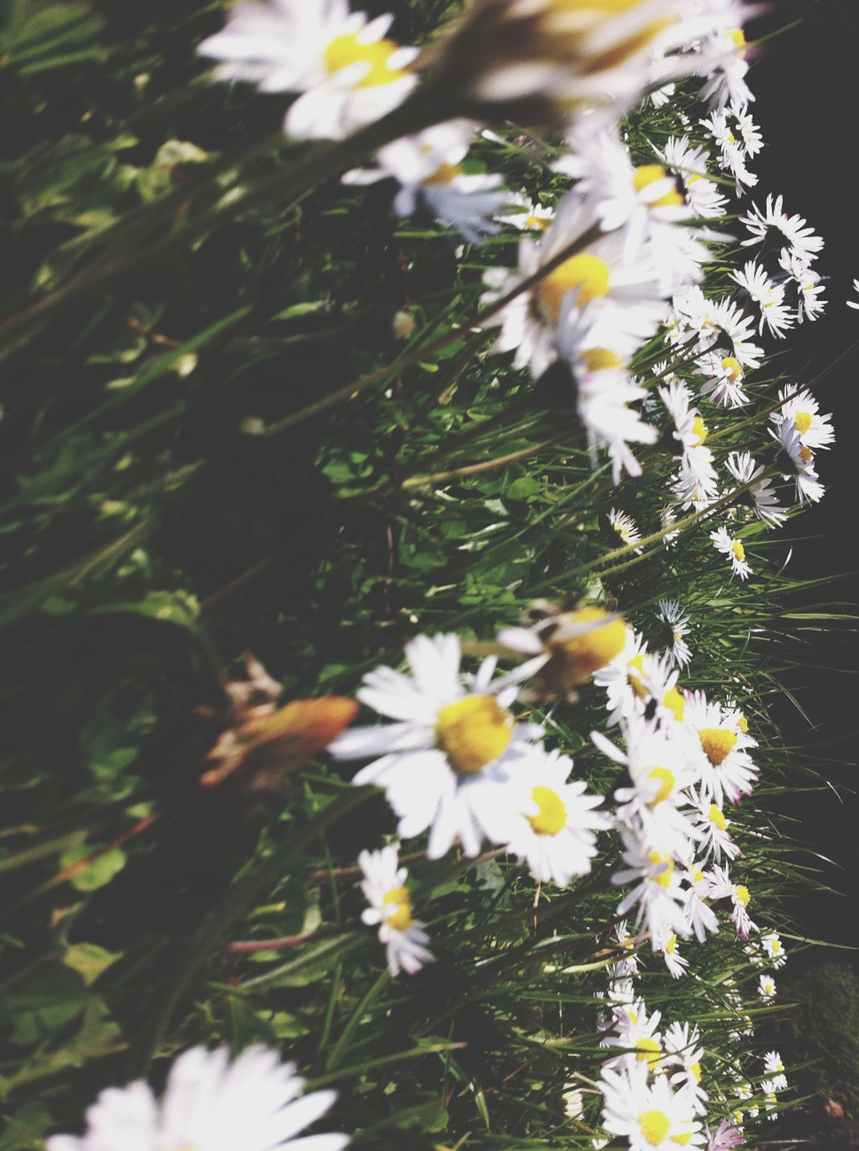 flower, freshness, fragility, petal, growth, white color, blooming, plant, beauty in nature, flower head, daisy, nature, stem, field, focus on foreground, in bloom, close-up, pollen, wildflower, outdoors
