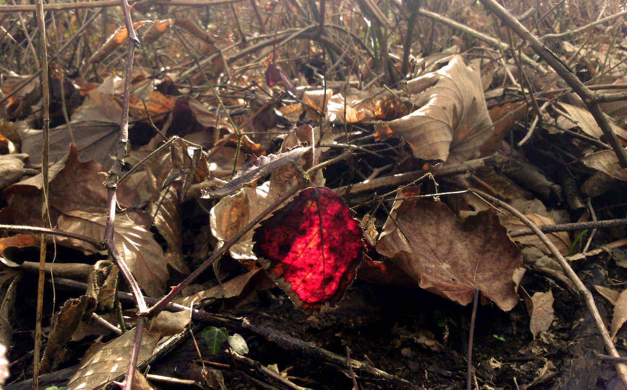 Autumn Colors Beauty In Nature Change Close-up Deadwood  Fragility Leaf Nature No People Red Leaf WoodLand Botanical