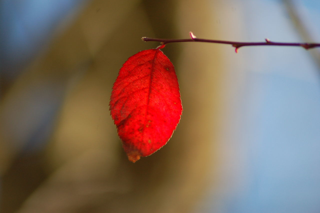 leaf, red, autumn, change, day, outdoors, close-up, nature, no people, focus on foreground, maple leaf, beauty in nature, maple