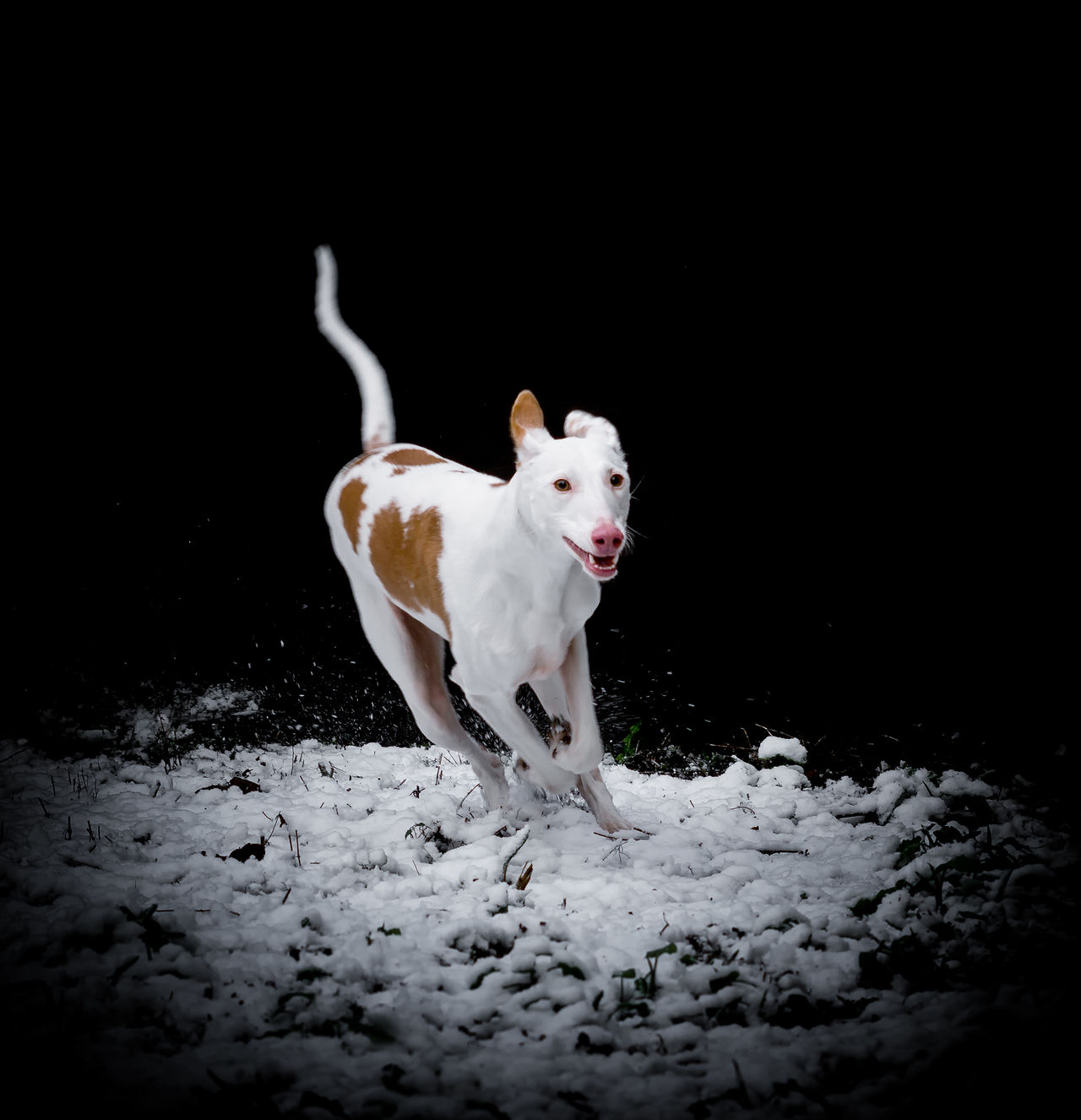 Animal Themes Black Background Dog Full Length Ibizan Hound Mammal Night No People One Animal Pets Podenco Ibicenco Portrait Running Snow Speed