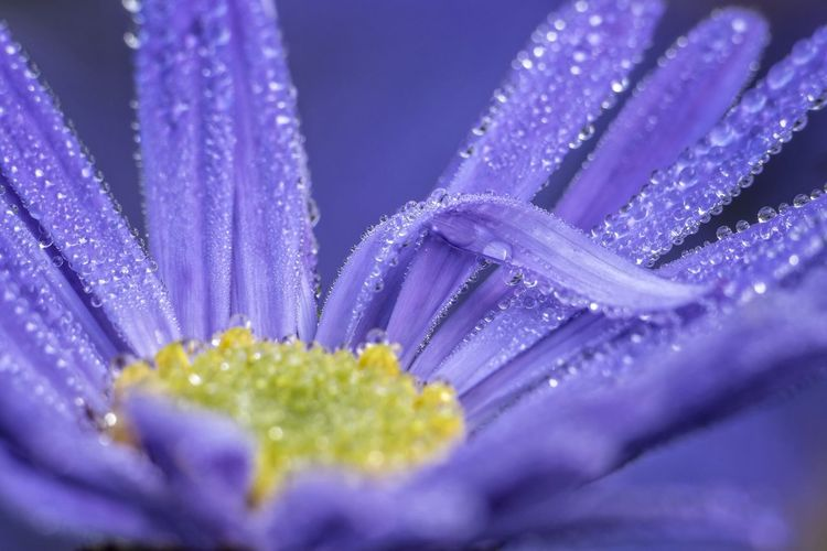 Morgentau auf Herbstaster Flower Blue Fragility Beauty In Nature Close-up Morning Dew Clear Fresh Herbstaster Blume Blau Frisch Morgentau Kühl Cool