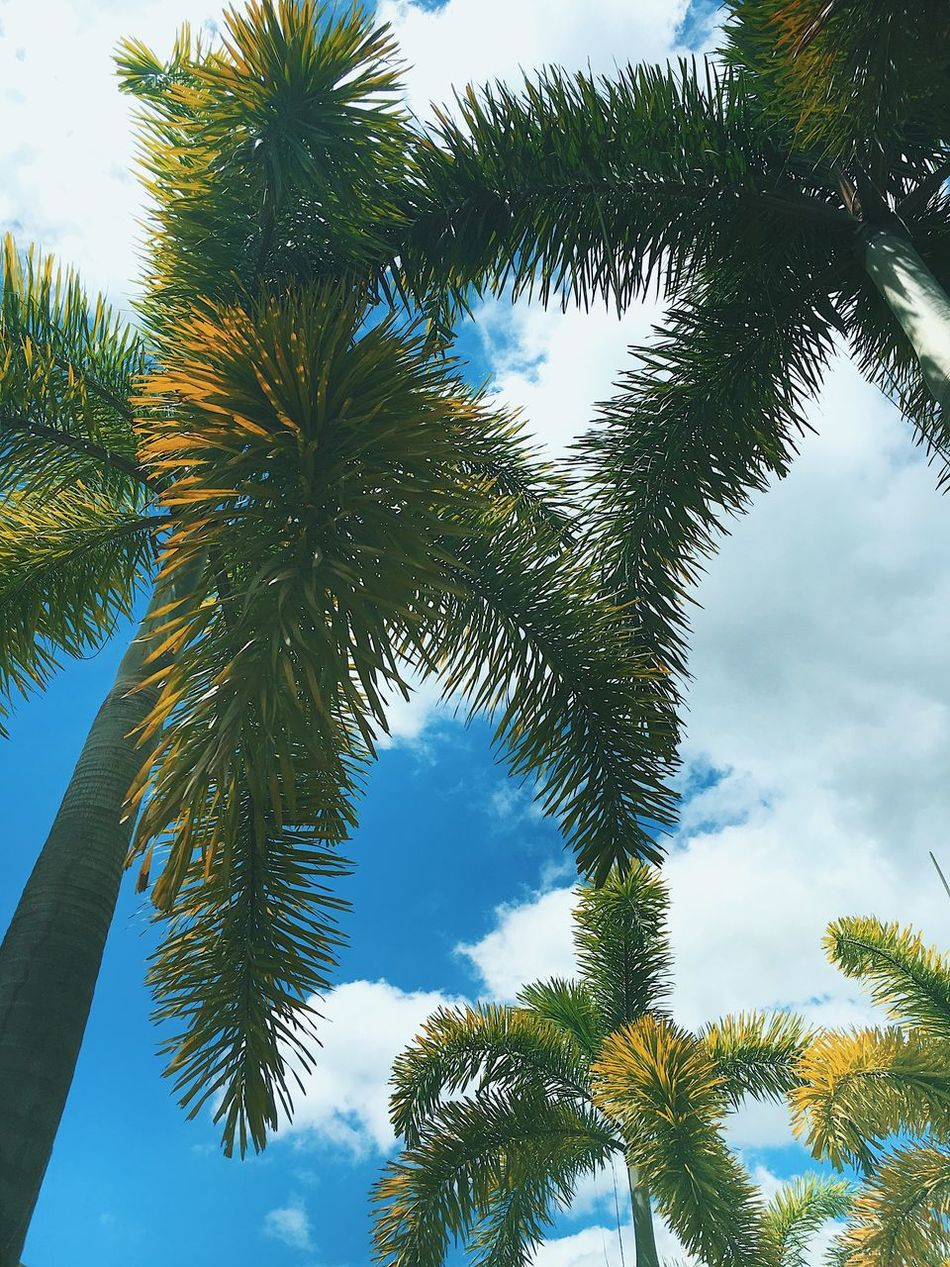 Été Low Angle View Tree Growth Palm Tree No People Nature Beauty In Nature Branch Green Color Outdoors Sky Day