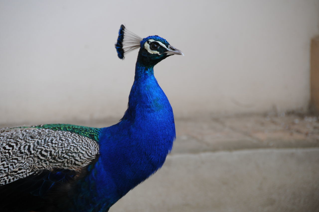 I am so beautiful Animal Crest Animal Themes Animal Wildlife Animals In The Wild Beauty In Nature Bird Blue Day Fanned Out I Am So BEAUTIFUL ! Multi Colored Nature No People One Animal Outdoors Peacock