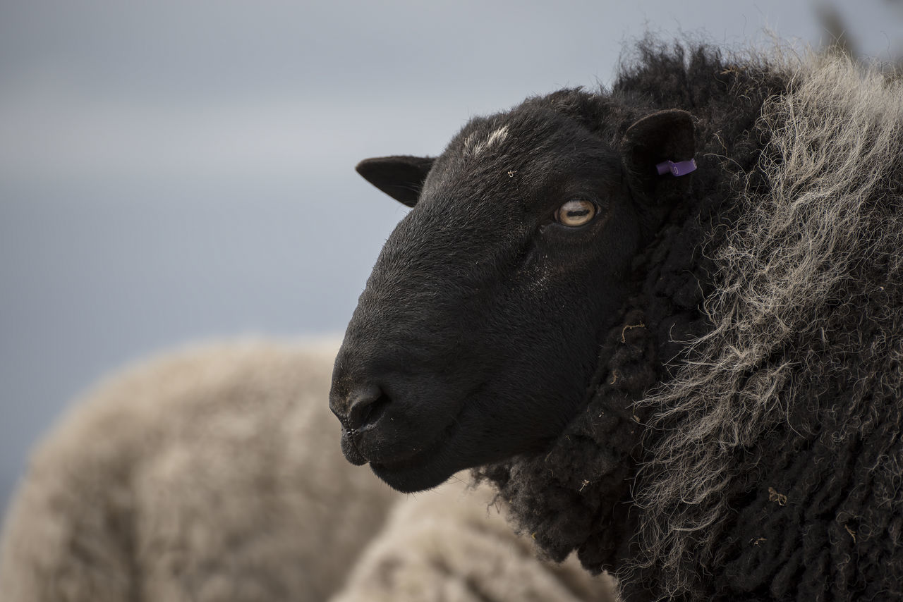 Beautiful stock photos of scotland, Animal Themes, Close-Up, Day, Domestic Animals