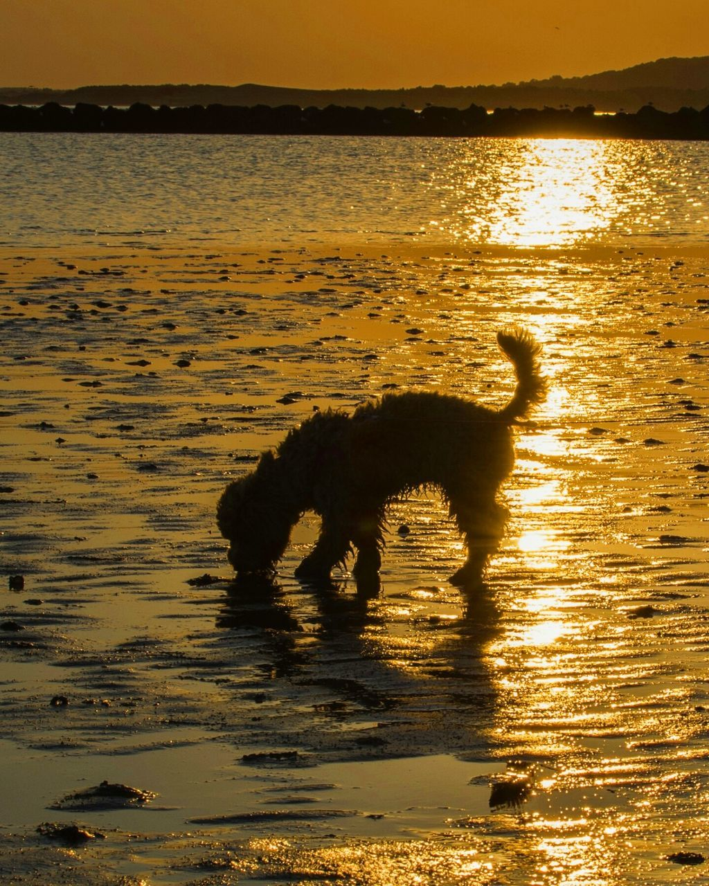 sunset, water, silhouette, one animal, nature, animal themes, sea, reflection, mammal, motion, beauty in nature, side view, no people, outdoors, sunlight, dog, scenics, pets, domestic animals, sky, day