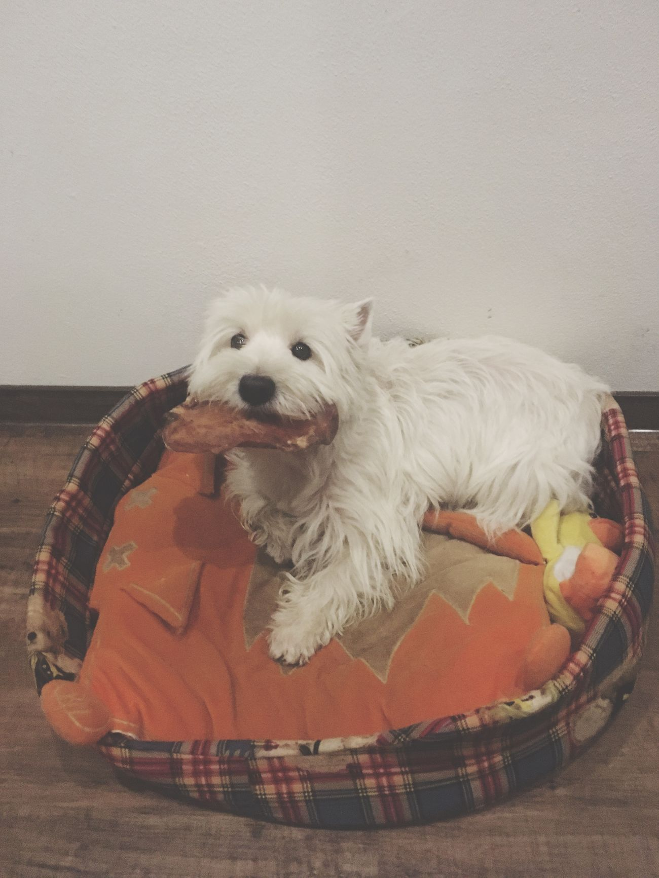 Pets Dog Hello World Queen Dogs My Dog Is Cooler Than Your Kid. My Dog I Love My Dog Happy Happy Dog Animal Themes Dogslife My Girl Westie West Highland White Terrier Dogs Of EyeEm Goodgirl Food Girl Pet Photography  Pet My Love Cute Cute Pets Dogmodel