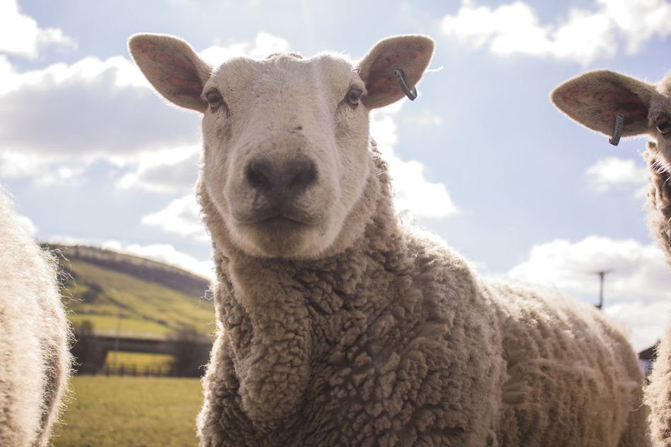 Beautiful stock photos of sheep, Animal Themes, Cloud - Sky, Day, Domestic Animals