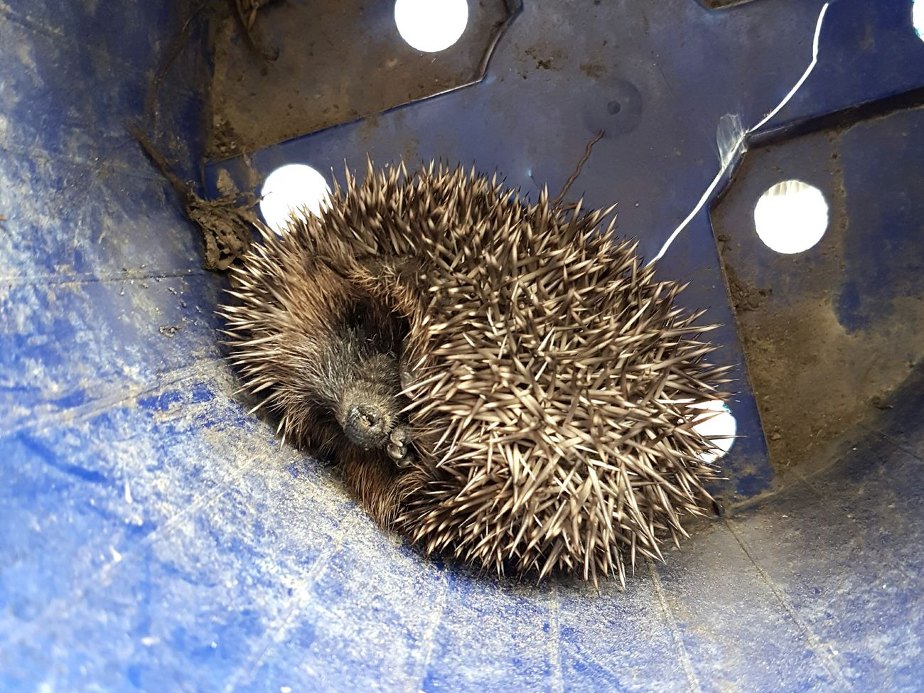 Finding shelter No People Close-up Indoors  Animal Themes Day Hedgehog Baby Baby Animal Curled Up Cozy Garden Nature Outdoors One Animal Beauty In Nature Fragility