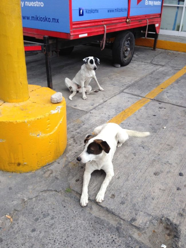 Two dogs Two Is Better Than One Colors White And Black Dog Dog Dogs Puerto Vallarta Mexico Red Yellow Blue Ground Concrete Floor Trailer Car Wheel