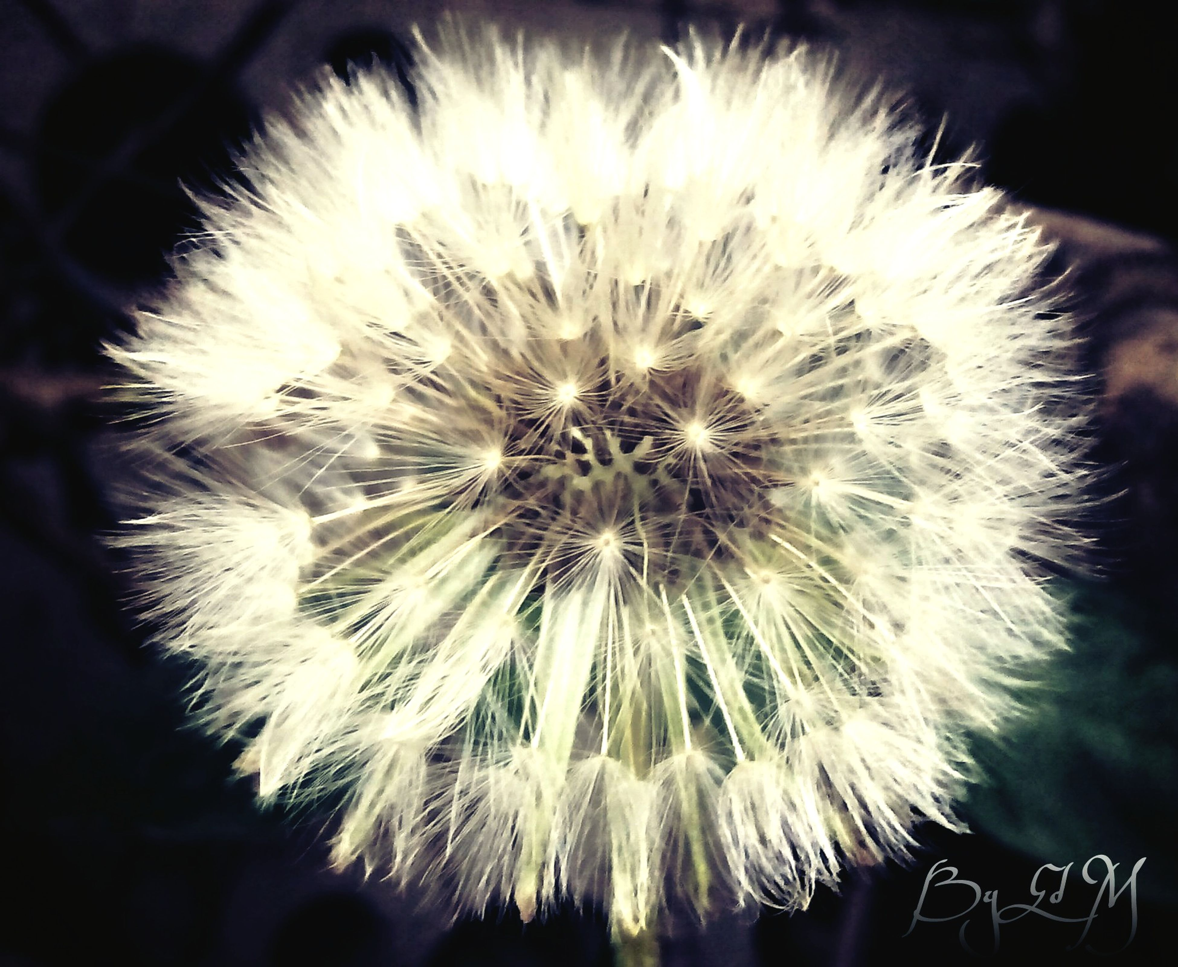 flower, dandelion, flower head, fragility, freshness, close-up, growth, beauty in nature, single flower, white color, nature, focus on foreground, softness, dandelion seed, petal, pollen, white, wildflower, uncultivated, blooming