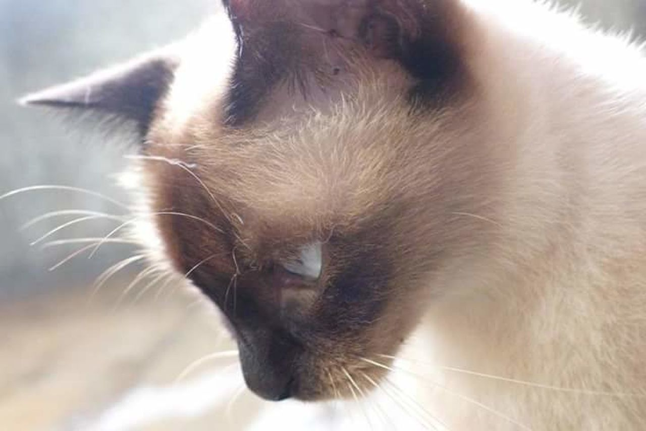 Siamese Cat street cat in Malaysia TheFollowing we followed each other for a long time. Naturesdiversities