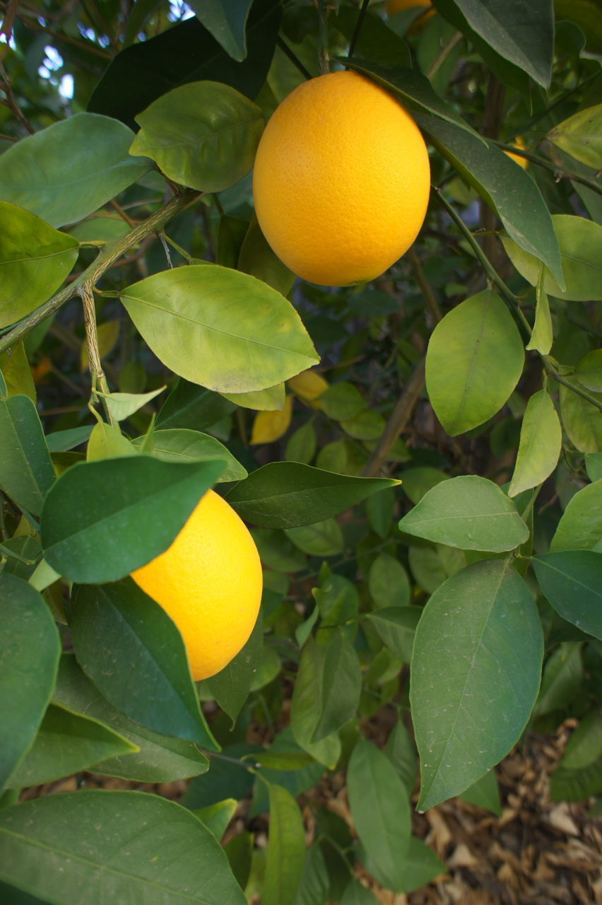 leaf, citrus fruit, fruit, orange - fruit, orange tree, growth, orange color, food and drink, freshness, tree, outdoors, no people, green color, healthy eating, yellow, day, food, nature, close-up, agriculture, hanging, beauty in nature