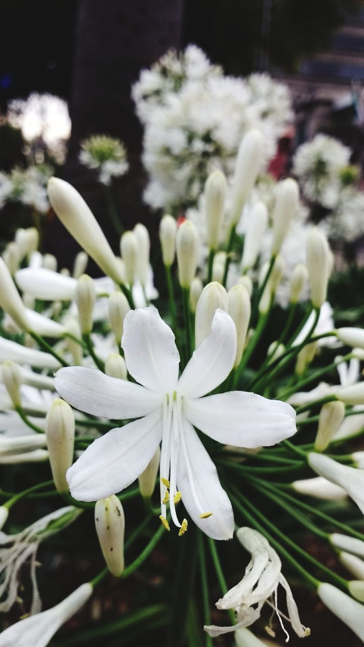 white color, flower, nature, beauty in nature, growth, plant, petal, fragility, no people, flower head, freshness, outdoors, day, close-up, blooming