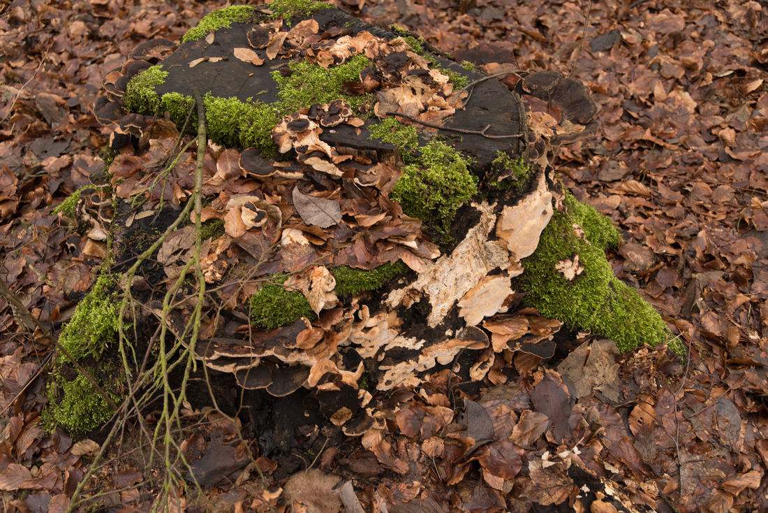 Decay Beauty Of Decay Beauty Of Nature Brown Leaves Day Forest Funghus Fungus On Tree Moss Nature No People Outdoor Outdoors Winter Wintertime