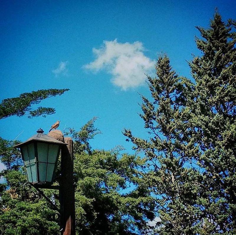 Hornero cabrón. Pajaro Bird Nido Nest Barro Mud Green Primavera Bluesky Skyporn Sky Cielo Azul Spring Springtime Verde Nature Natural Lamp Farol Arboles Trees Lonely Cloud instamoment instacool instapic
