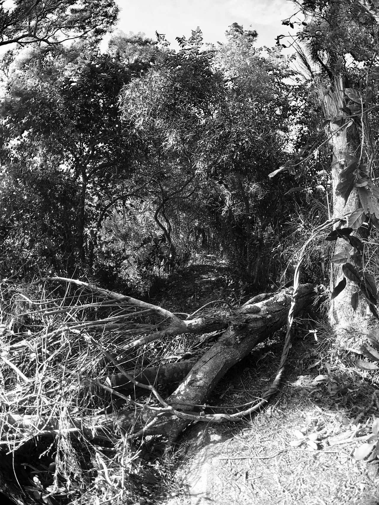 Tree Nature Forest Growth Tranquility Non-urban Scene Sunlight And Shadow Landscapes IPhoneography Moment Lens Superfish Sun Light Through Trees Light And Shadow Black And White Black & White Landscape Tranquil Scene Outdoors Day Branch Beauty In Nature Scenics Sky