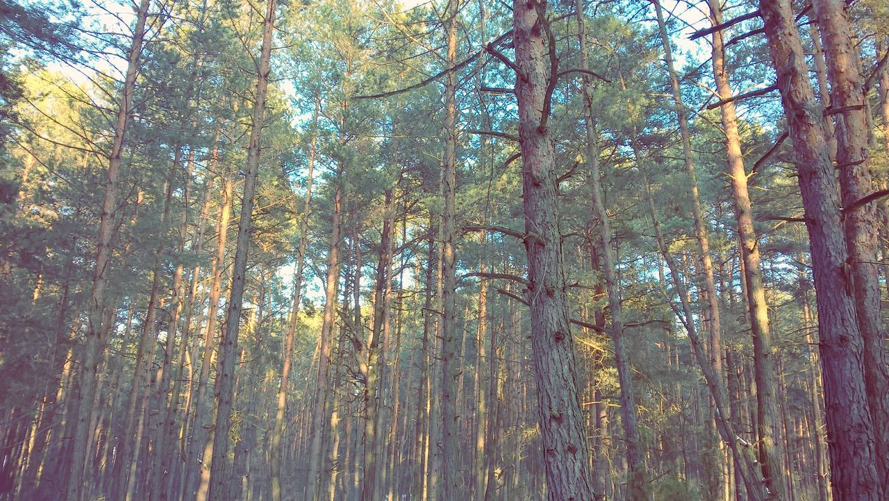 forest, tree, nature, woodland, day, outdoors, beauty in nature, tranquil scene, tranquility, no people, growth, scenics, tree trunk, low angle view, autumn, branch, wilderness area